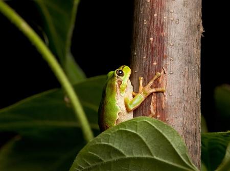 arboreal frog: Macro de Hyla arborea por la noche en el entorno natural Foto de archivo