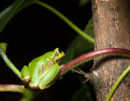 Macro of green frog hiding on tree at night Stock Photo - 9612496