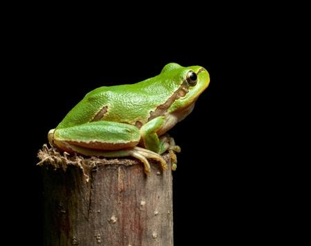 arboreal frog: Macro de rana Europea (Hyla arborea) aislada en negro Foto de archivo