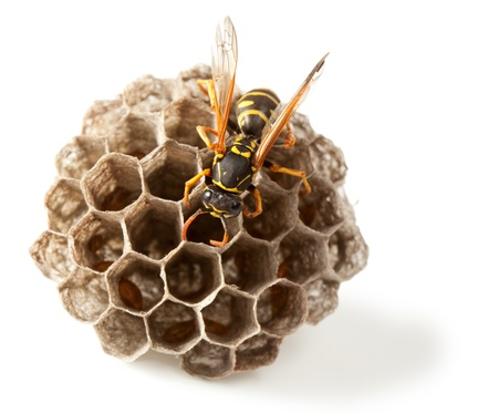Macro of wasp (Vespula vulgaris) on vespiary isolated on white