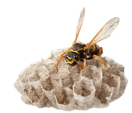 Macro van wesp (vulgaris Vespula) die op nest zit dat op wit wordt geïsoleerd Stockfoto
