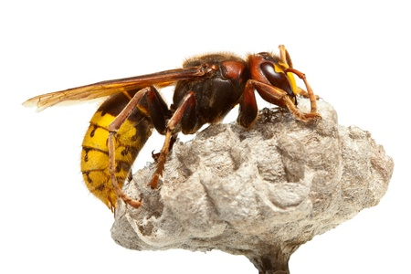 Macro of hornet (Vespa crabro) sitting on vespiary isolated on white Stock fotó