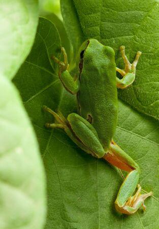 arboreal frog: Macro de rana Europea (Hyla arborea) escalada en medio ambiente