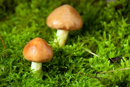 Macro of three annulated boletus (Suillus luteus) in autumn forest over green moss background photo