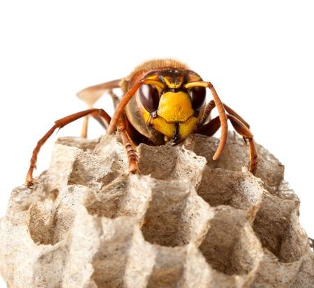 Macro van Hornet (Vespa crabro) zit op wespennest op wit wordt geïsoleerd
