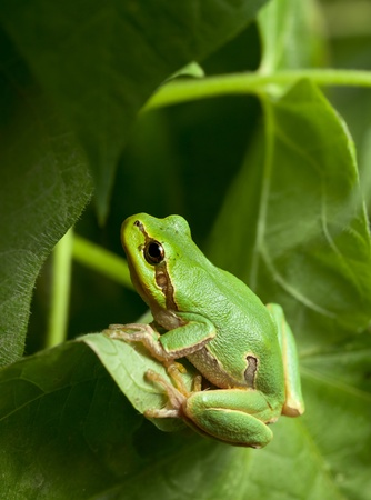 Macro of European tree frog (Hyla arborea) in natural environment Stock Photo