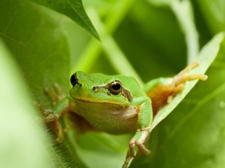 arboreal frog: Macro de rana inspecci�n fuera desde detr�s de las hojas Foto de archivo