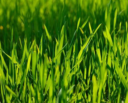 Macro di germogli di grano giovane