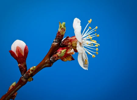 Macro of fruit tree blooming twig over blue background photo
