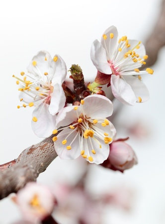 Macro of blooming fruit tree brunch  Stock Photo