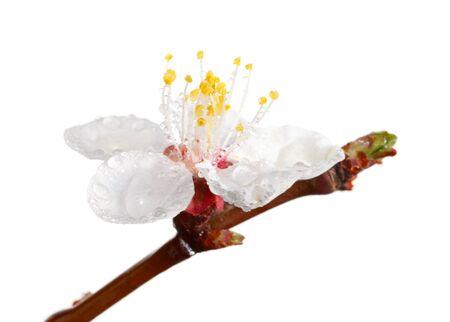 Macro de albaricoque bloom con gotas de agua aislados en blanco Foto de archivo - 9741930