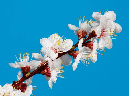 Studio close-up shot of apricot blooming twig over blue photo