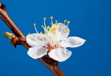Studio shot of spring cherry bloom with sprinkles over blue photo