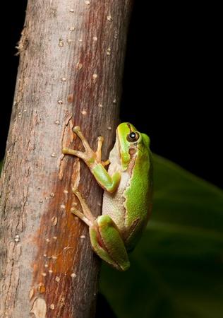 arboreal frog: Macro de Hyla arborea Hyla arborea por la noche en el entorno natural