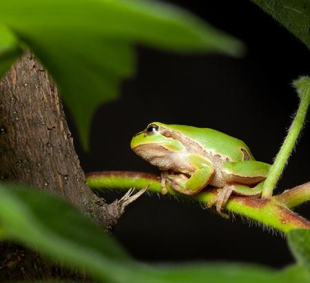 arboreal frog: Hyla arborea (Hyla arborea) ocultar el �rbol en la noche