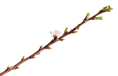 Blossom apricot shoot with one flower isolated on white photo