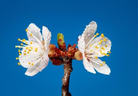 Disparo de estudio de blooming albaricoque ramita con agua cae Foto de archivo - 9883571