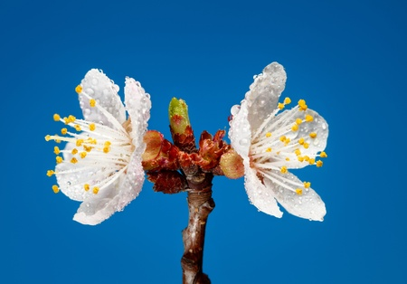 Studio shot of blooming apricot twig with water drops photo