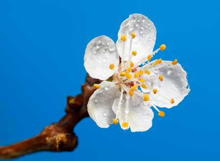 Macro of fruit tree flower with water drops over blue background photo