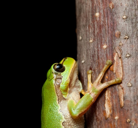 European tree frog (Hyla arborea) clinging on branch at night