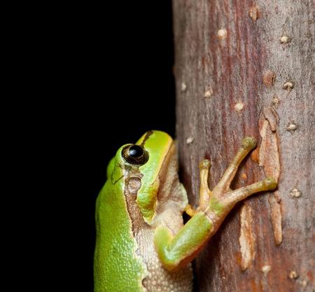 arboreal frog: Hyla arborea (Hyla arborea) aferrado en la rama de noche