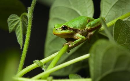 arboreal frog: Macro de rana (Hyla arborea) por la noche en el entorno natural Foto de archivo