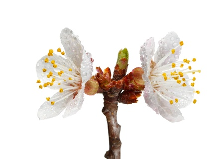 Studio shot of blooming apricot twig with water drops isolated on white photo