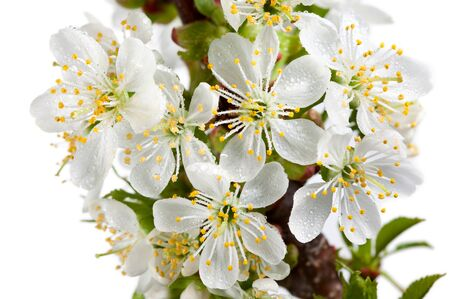 Macro of blooming cherry and dew drops isolated on white photo