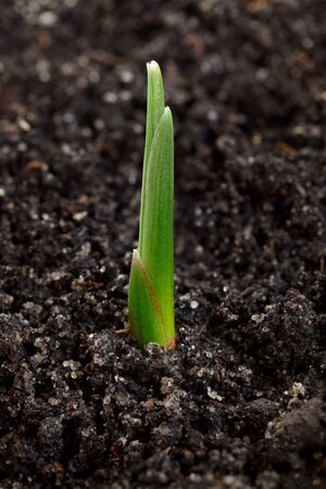 appear: Macro of green braird over soil background, new life concept