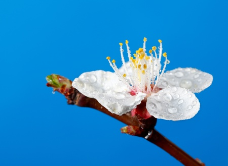 Macro of apricot tree bloom with water drops over blue background photo