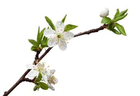 Closeup of blooming apple twig covered by water drops isolated on white