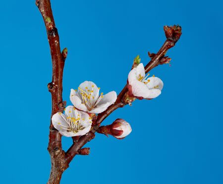Closeup of blossom on apricot twig over blue background photo
