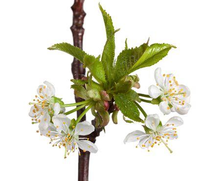 Macro de los cerezos en flor y gotas de agua aisladas en blanco Foto de archivo - 11970230