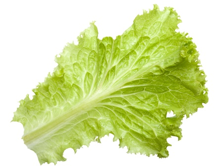 lactuca sativa: Macro of fresh Lactuca sativa leaf isolated on white background Stock Photo