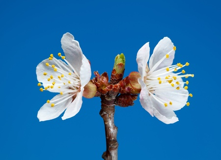 Studio shot of blooming apricot twig over blue background photo