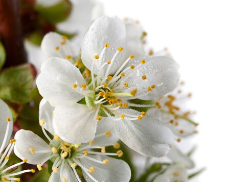 Macro of cherry blossoms and water drops isolated on white photo