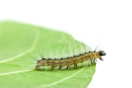 Macro of Hyphantria cunea larva crawling on leaf isolated on white Stock fotó