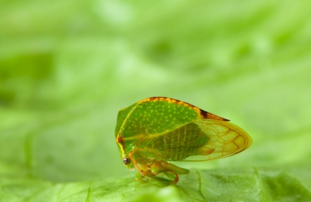 lactuca sativa: Hemiptera on green leaf Lactuca sativa