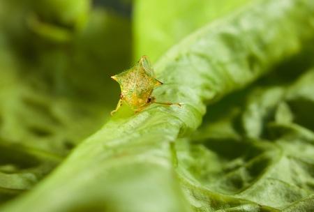 lactuca sativa: Macro of spire Hemiptera on Lactuca sativa leaf Stock Photo