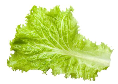 lactuca: Fresh Lactuca sativa leaf isolated on white background Stock Photo