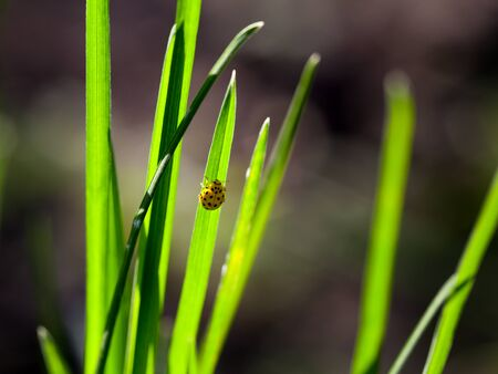 coccinellidae: Macro of ladybug (Coccinellidae) climbing on grass backlit by morning sun