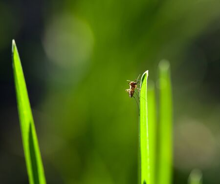 Macro shot of Northern house mosquito (Culex pipiens) sitting on green grass blade photo