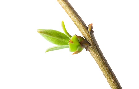 Fresh new leaves bud isolated on white background photo