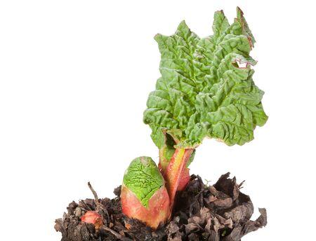 Macro of pieplant (Rheum rhaponticum) at spring isolated on white Stock Photo - 18705666