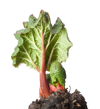 Macro of pie-plant (Rheum rhaponticum) shoot at spring isolated on white Stock Photo - 18705663