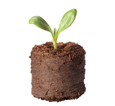 turba: Macro de alcachofa (Cynara scolymus) germinar en turba briqueta aislado en blanco