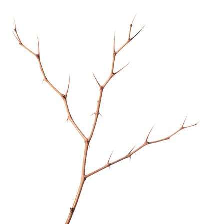 prickle: Close-up of Zizyphus jujuba prickle twigs isolated on white