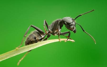 hormiga hoja: Hormiga en la hoja de hierba sobre fondo verde, vista desde abajo