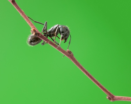 Macro of big black ant on brunch over green background, low point of view Stock Photo