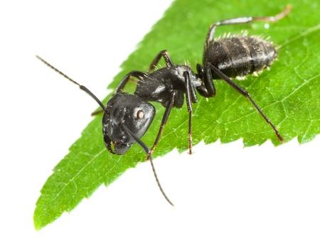 hormiga hoja: Macro de hormiga grande y negro que se sienta en punta de la hoja aislado en blanco